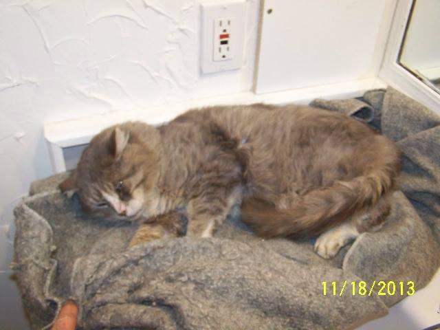 Male feral cat